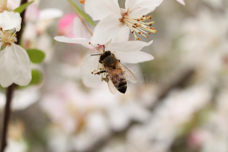 Close up Bee on Flower stock photography