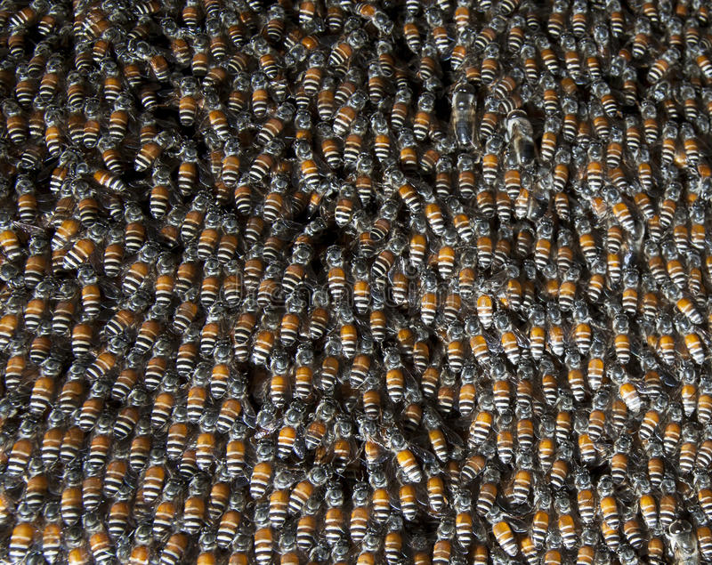 Download Close Up Of Bee Insect In Beehive Stock Image - Image: 43620729