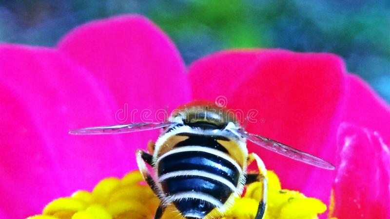 Close up of a bee pollinating a pink Zinnia flower. The background is green. royalty free stock photo