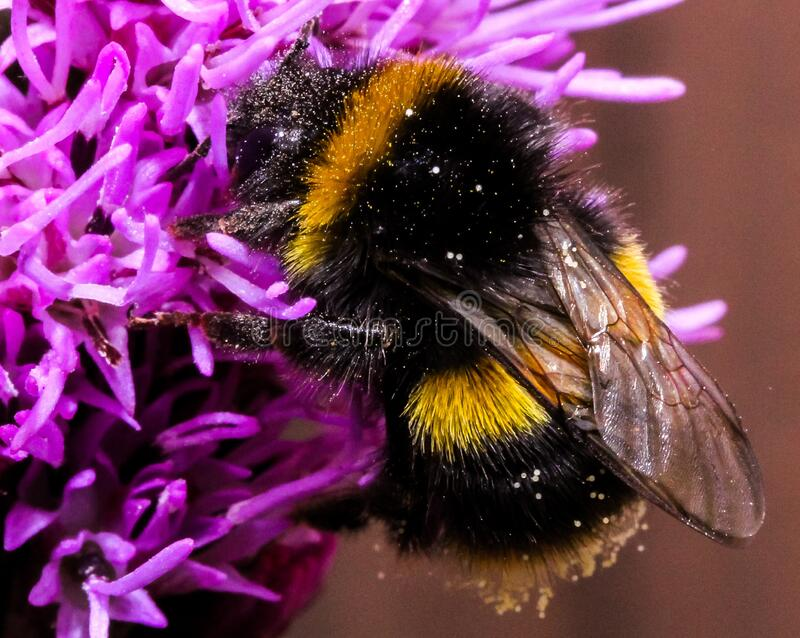 Close-up of Bee on Purple Flower royalty free stock image