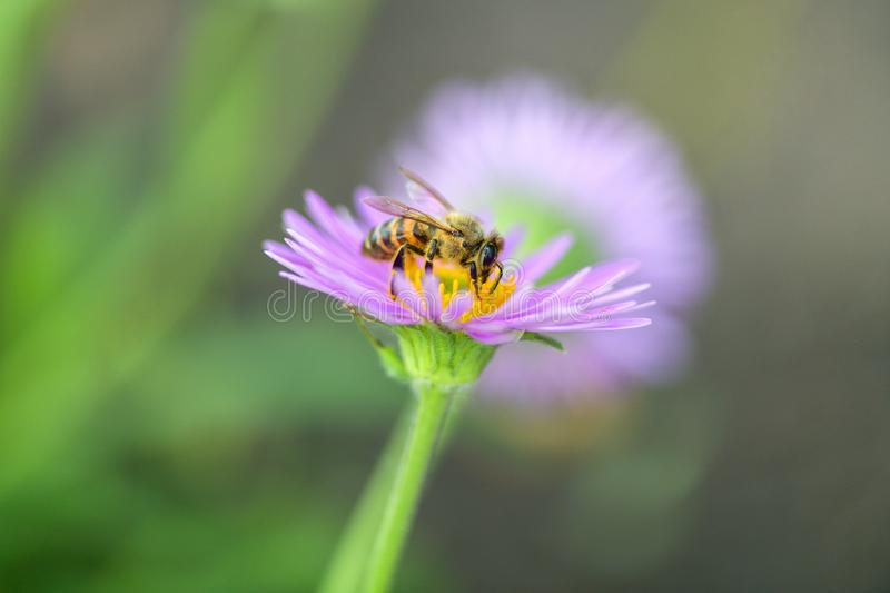 Close-up of a bee on a purple flower collects pollen and nectar. Horizontal macro photography stock photography