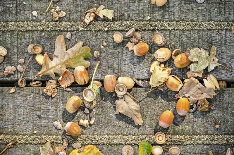 Close up of beech nuts and leaves stock photography