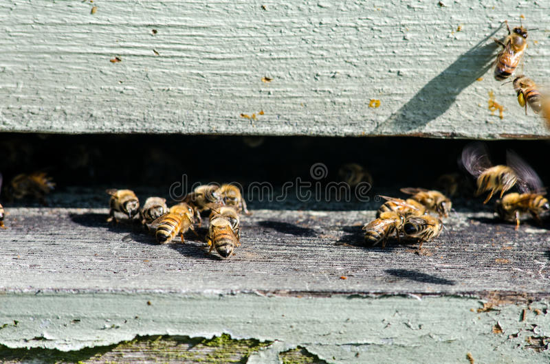 Close up of Bees Entering Their Hive stock photography