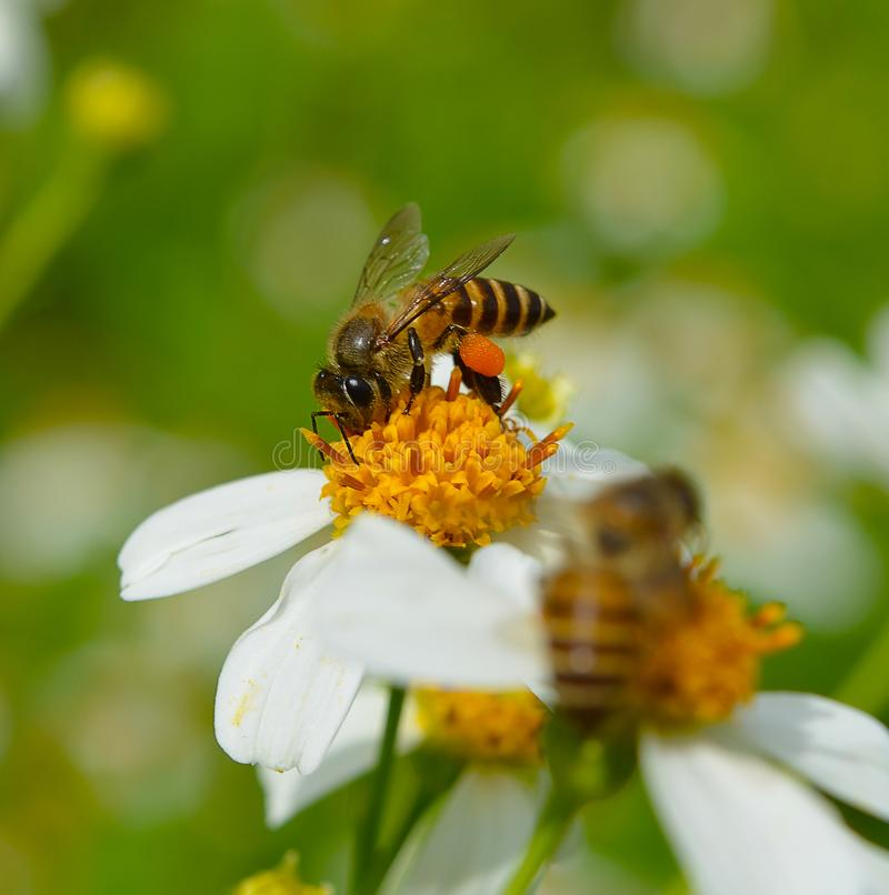 Close up bees on flower stock photography