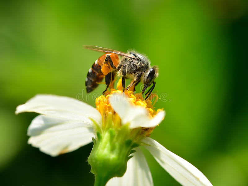 Close up bees on flower royalty free stock images