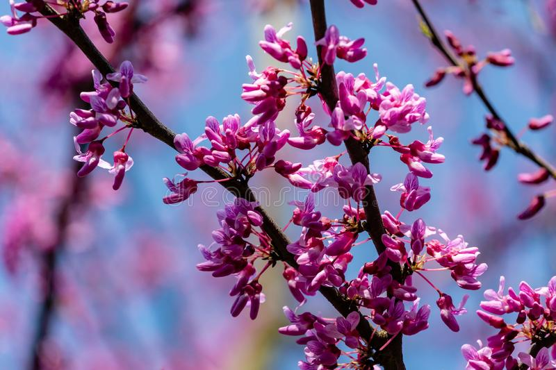 Close-up beginning blossom of purple Eastern Redbud, or Eastern Redbud Cercis canadensis in sunny spring garden. Purple inflorescences against clean blue sky stock photos