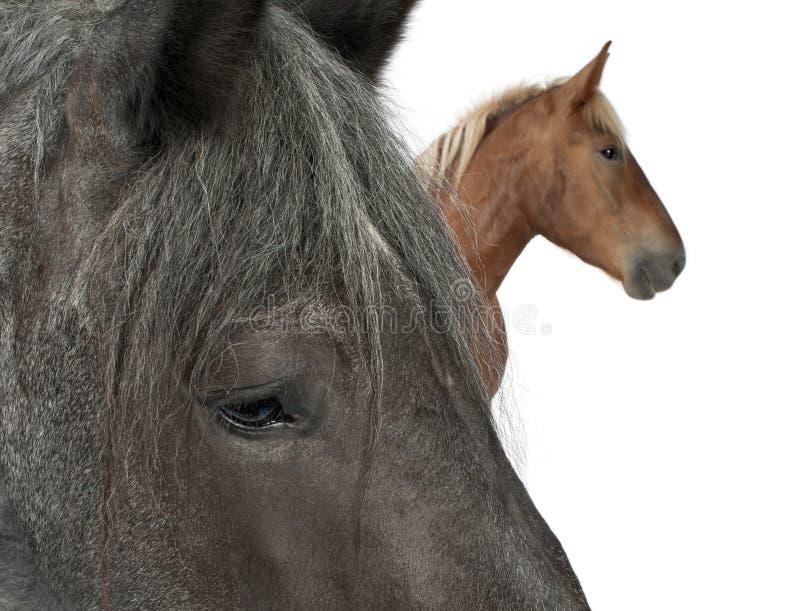 Download Close-up Of Belgian Horse Stock Photos - Image: 16713563