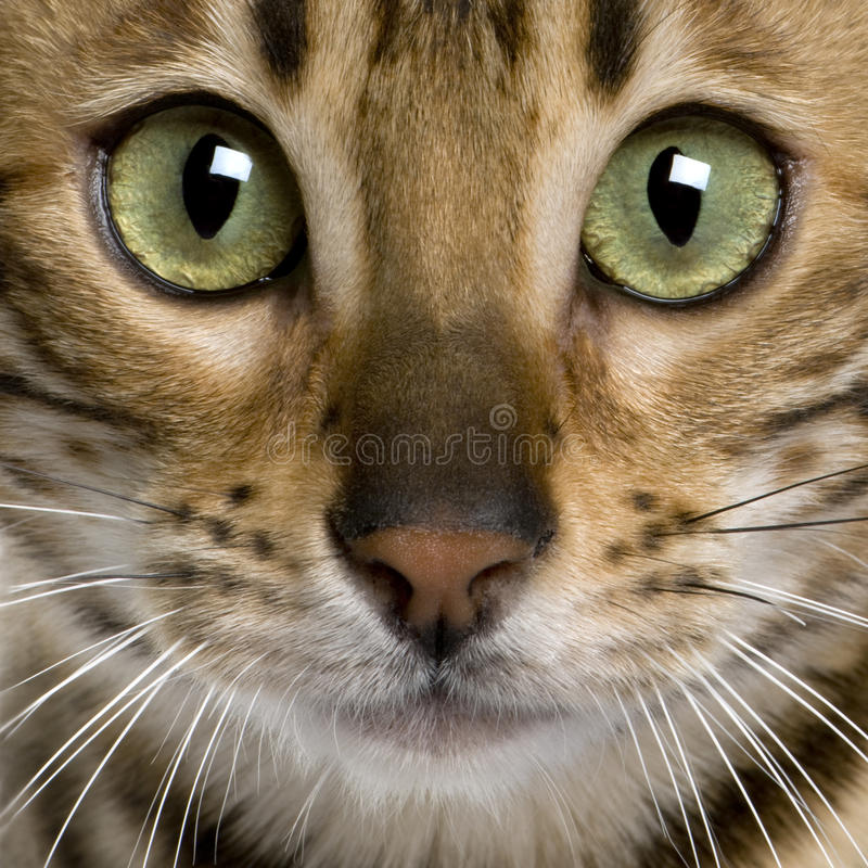 Download Close Up Of A Bengal Kitten (7 Months) Stock Photo - Image: 13666420
