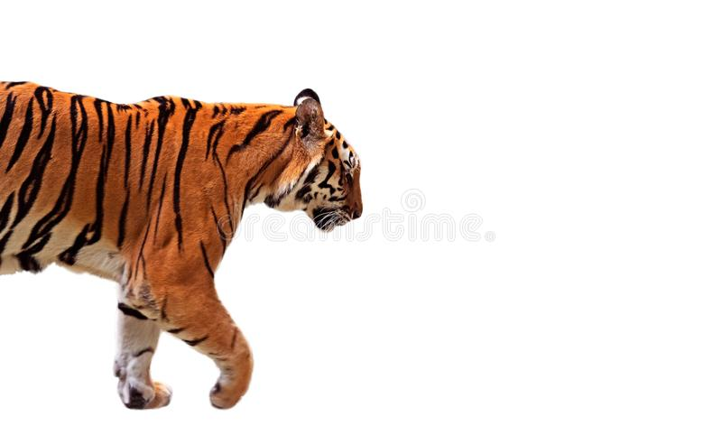 Close up Bengal Tiger Walk no fundo branco, trajeto de grampeamento imagem de stock royalty free
