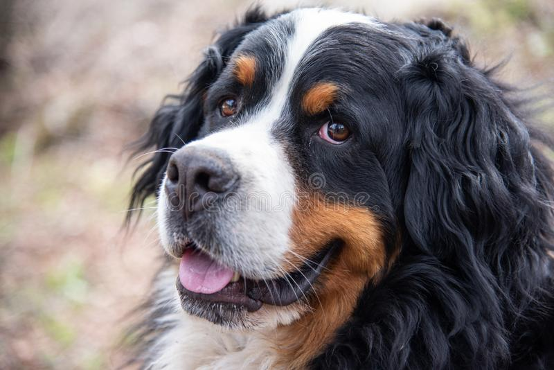 Close up of Bernese mountain dog. Beautiful expression of the dog`s head stock image
