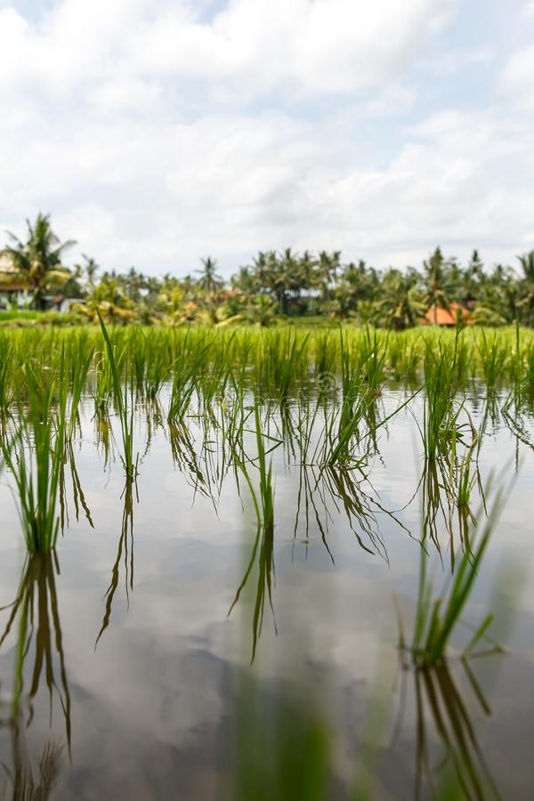Close-up of beutiful rice field stock photography