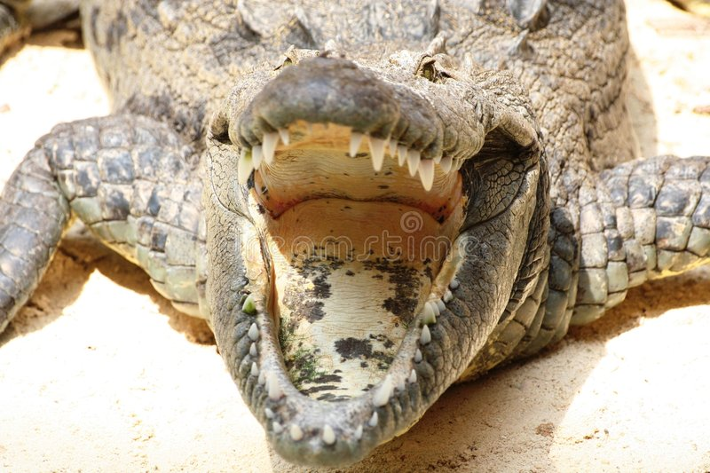 Close-up of Big Crocodile. Head Mexico stock images