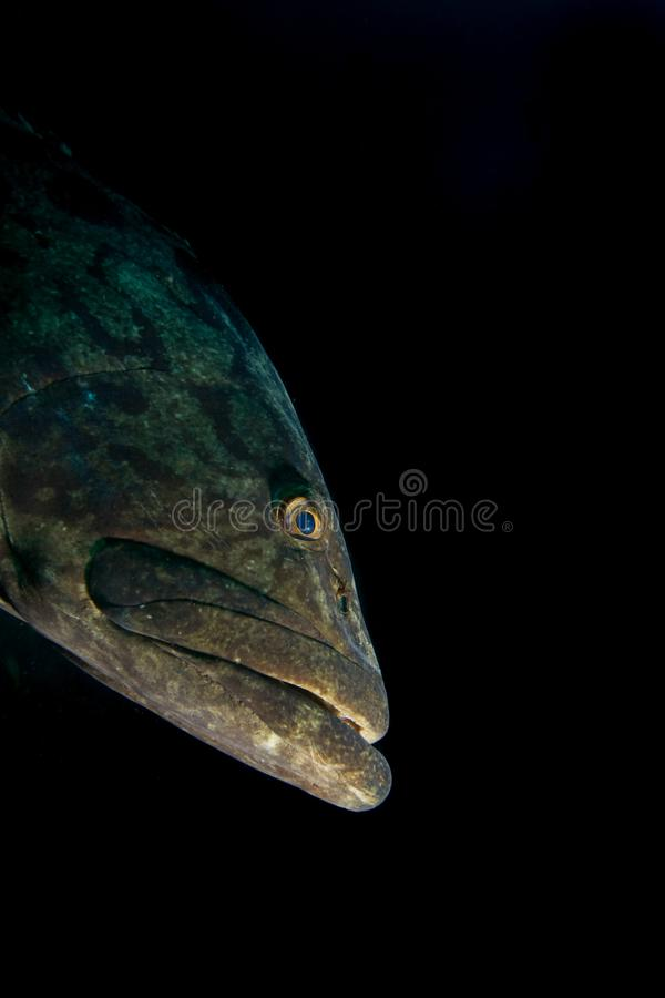 Close up of a big grouper . royalty free stock images