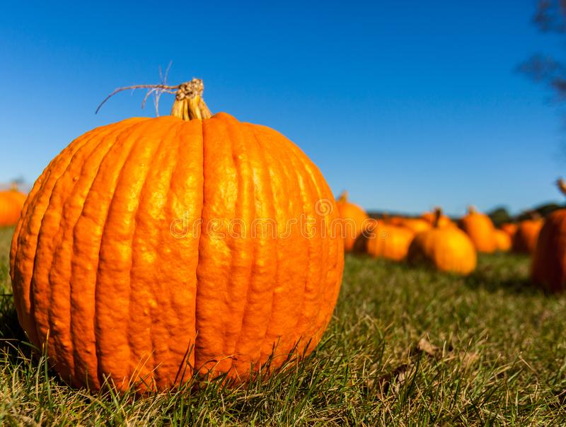 Close up of a big pumpkin in a field with blurred pumpkins in the background/pumpkin patch. Close up of a big pumpkin in a field with blurred pumpkins in the royalty free stock photography