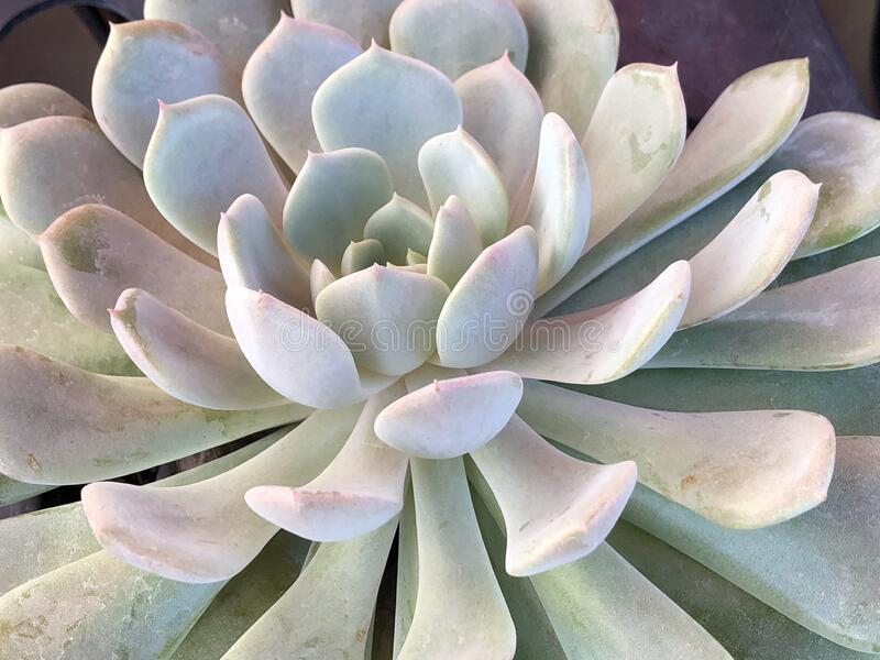Close up of a big succulent plant royalty free stock images