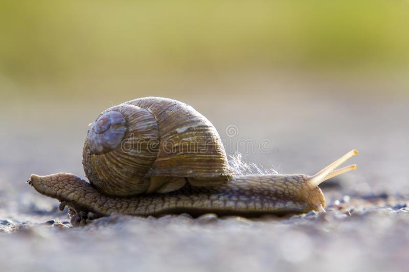 Close-up of big terrestrial snail with brown shell slowly crawling on bright blurred background. Use of mollusks as food and. Damage for agriculture concept royalty free stock image