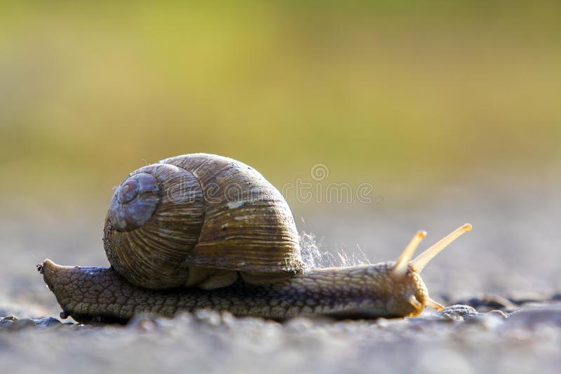 Close-up of big terrestrial snail with brown shell slowly crawling on bright blurred background. Use of mollusks as food and damag. E for agriculture concept stock photography