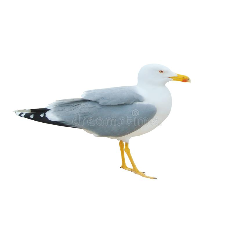 Close-up of big white seagull standing isolated on white background. royalty free stock image