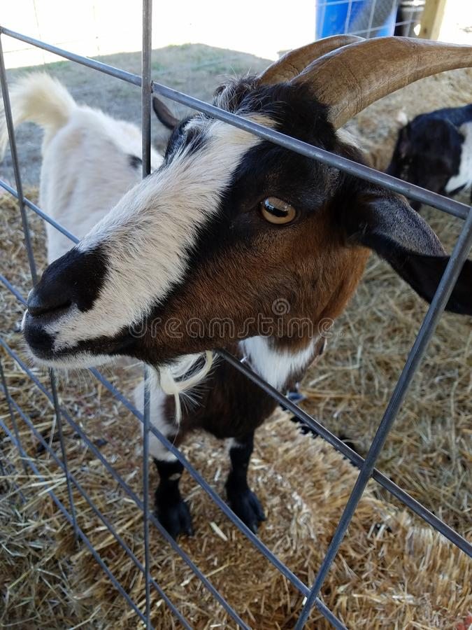 A close up of a billy goat& x27;s face in a fence royalty free stock photography