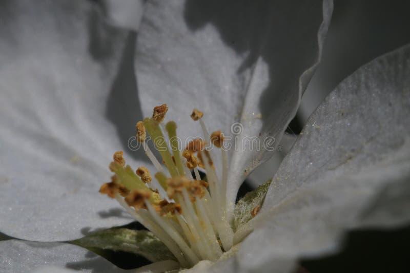 close-up Binnen de bloem van de appelboom In de streek van scherpte stamens, stampers en stuifmeel stock afbeelding