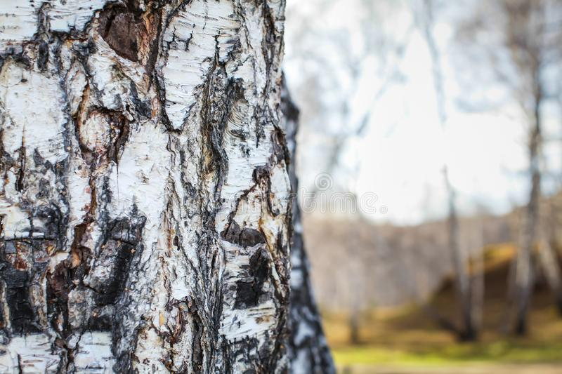 Close up birch bark texture natural background. birch tree wood texture with old cracks. pattern of birch bark royalty free stock image