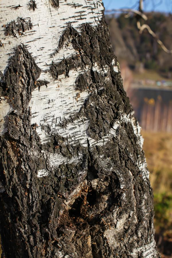 Close up birch bark texture natural background. birch tree wood texture with old cracks. pattern of birch bark royalty free stock photo