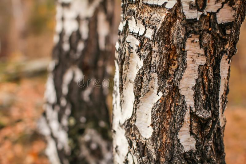 Close up birch cracked bark texture natural background. birch tree wood texture stock image