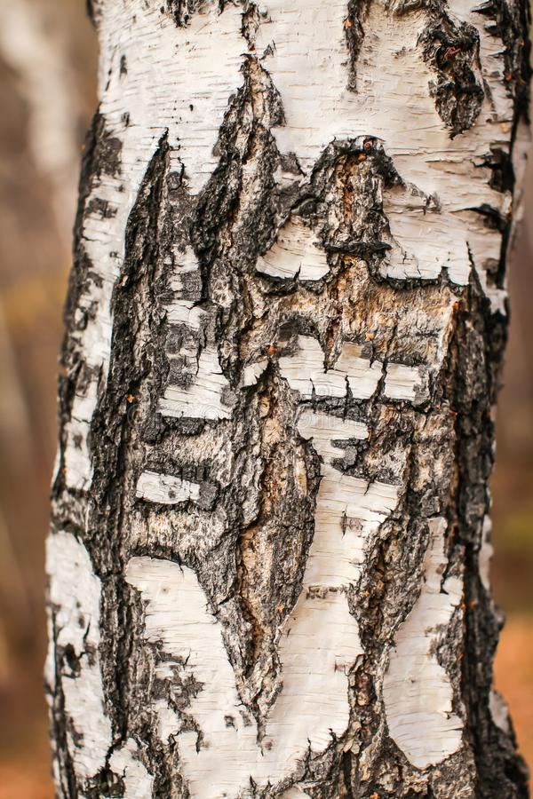 Close up birch cracked bark texture natural background. birch tree wood texture royalty free stock photos