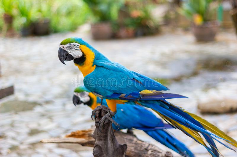 Bird Blue and yellow Macaw on a branch of tree royalty free stock photography