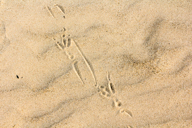 Close up bird footprints on a sand royalty free stock images