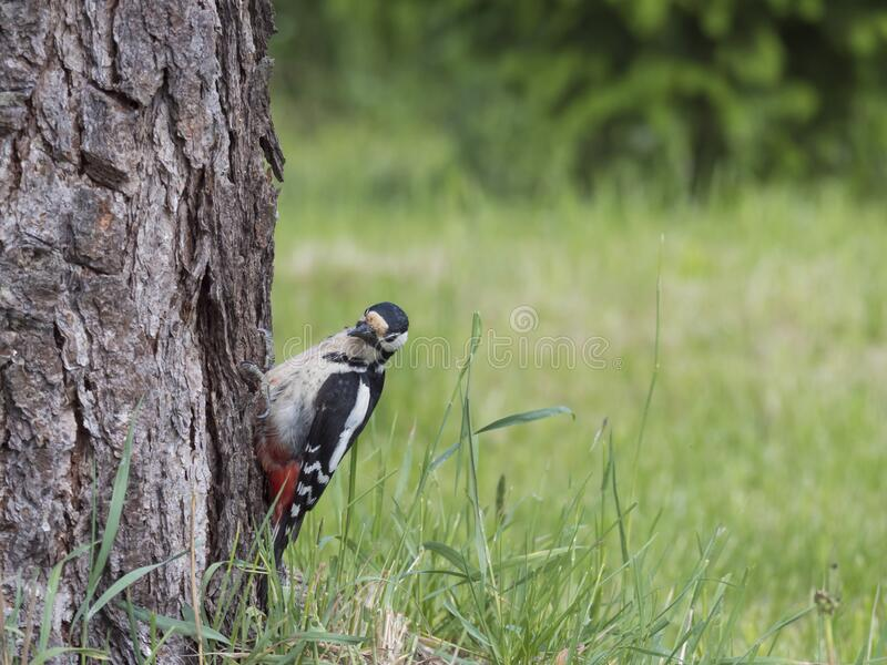 Close up bird The great spotted woodpecker, Dendrocopos major perched on the larch tree trunk, looking to the camera stock photo