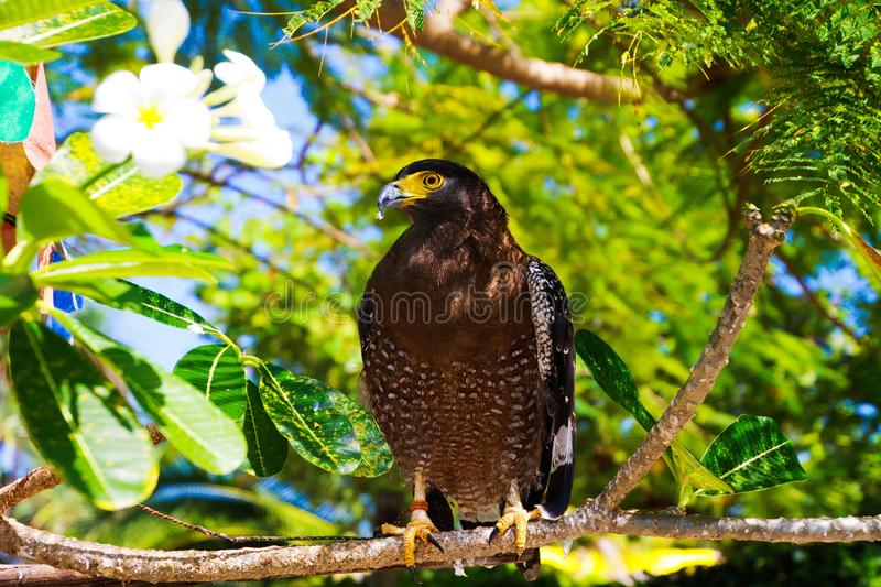 Close up bird of prey with yellow eye and beak sitting on branch of tropical tree, green blurred background and white flower - stock images