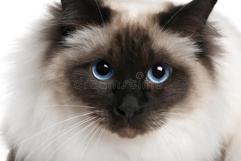 Download Close Up Of A Birman (2 Years Old) Stock Image - Image: 13665939