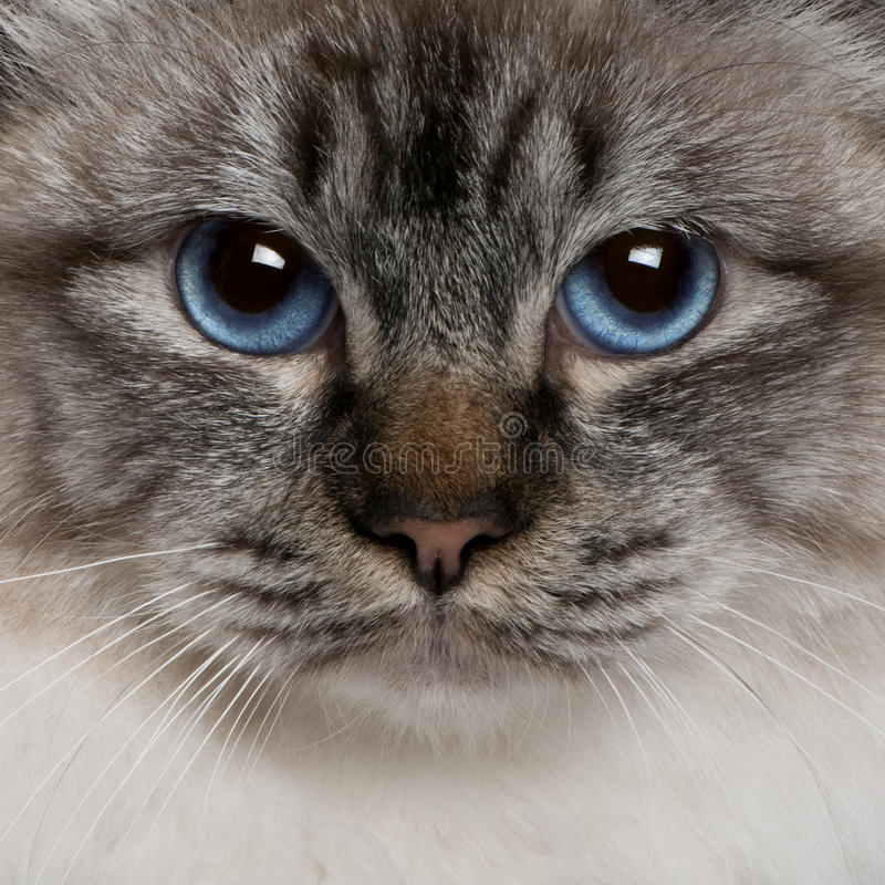 Close up of a Birman (8 months old) royalty free stock images