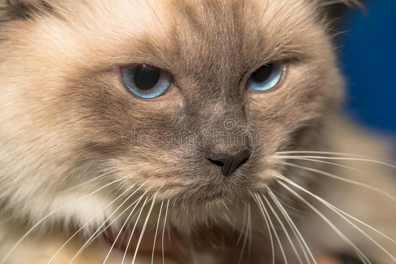 Birman Cat. Close-up of Birman cats face. Cat portrait or Sacred Cat of Burma with blue eyes royalty free stock photo