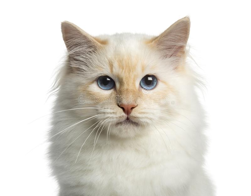 Close-up of a Birman cat, looking at the camera royalty free stock images