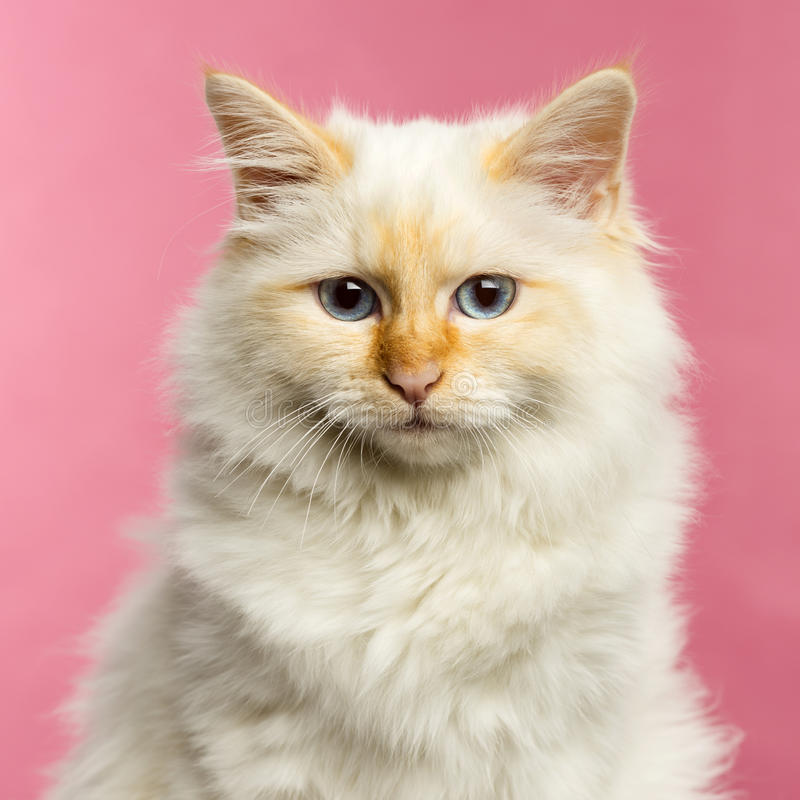 Close-up of a Birman cat, 5 months old, on a pink background royalty free stock photo