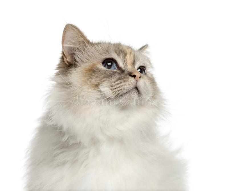 Close-up of a birman looking up, isolated stock image