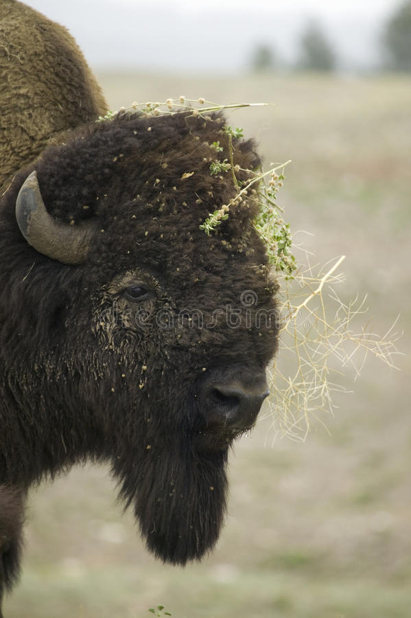 Download Close-up of Bison stock image. Image of nobody, america - 27073899