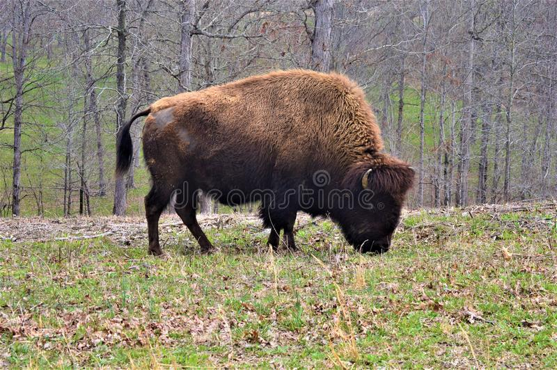 Close Up of Bison Eating Grass. Close up photo of a sole bison eating grass in front of a forest royalty free stock photography