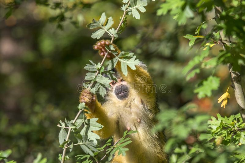 Close Up Of A Black-Capped Squirrel Monkey In A Tree stock photography