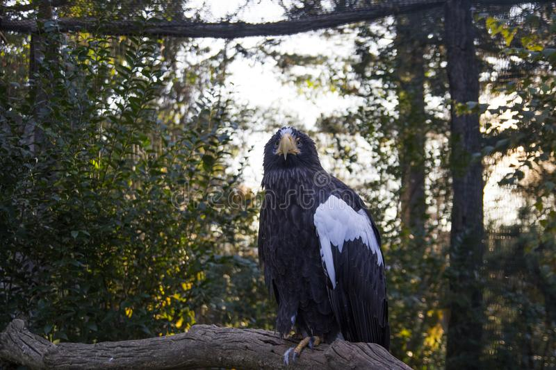 Close up of a black eagle with a white color on his wing sitting and looking in a camera with a trees on background. royalty free stock photos