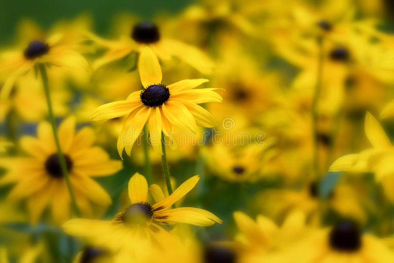 Close up of Black Eyed Susans royalty free stock photos