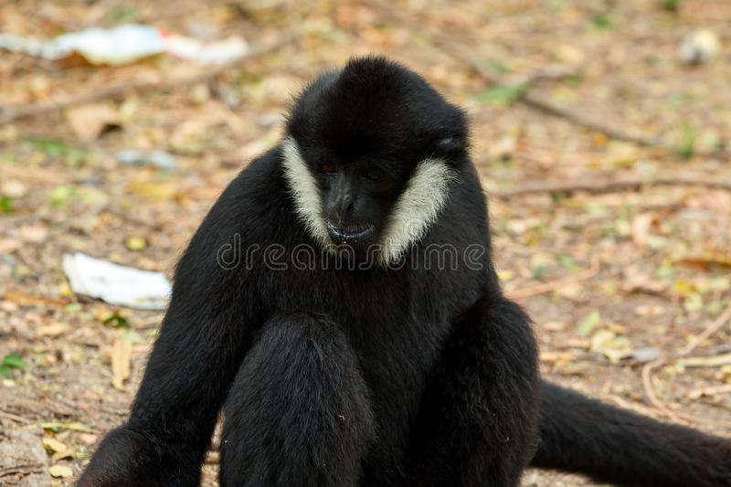 Close up of black gibbon white-cheeked gibbon sitting. And finding the food on nature wild background royalty free stock photos