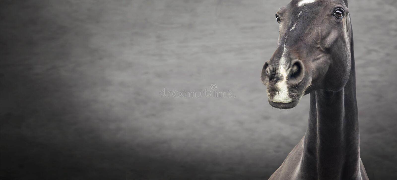 Close up of black horse portrait on dark textured background stock image