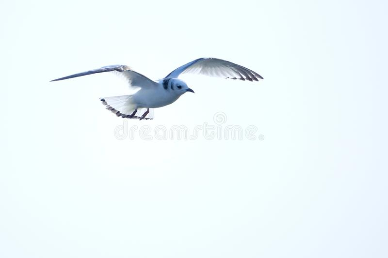 Black-legged Kittiwake stock photo