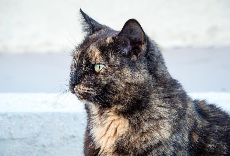 Close up of a tortoiseshell cat`s head and neck with winter heavy fur royalty free stock image