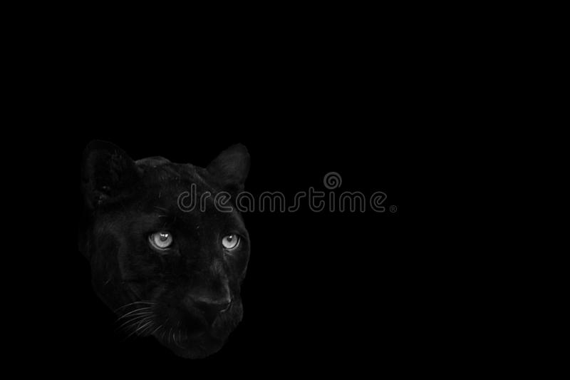 A black panther royalty free stock images