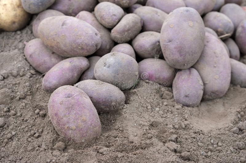 Close-up of black potatoes lying on the ground. Unwashed dirty freshly dug crop royalty free stock photo