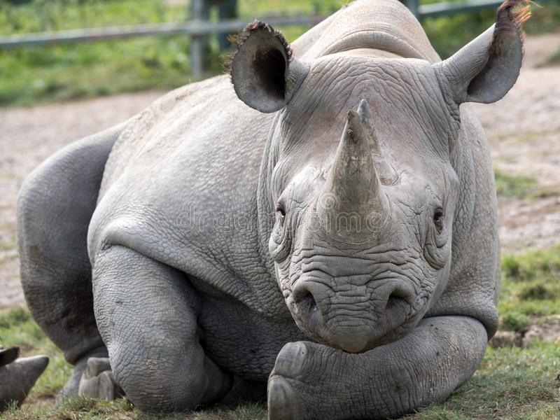 Close up of black rhinoceros looking straight to camera. Photographed at Port Lympne Safari Park near Ashford Kent UK. Close up of East African black rhinoceros stock image